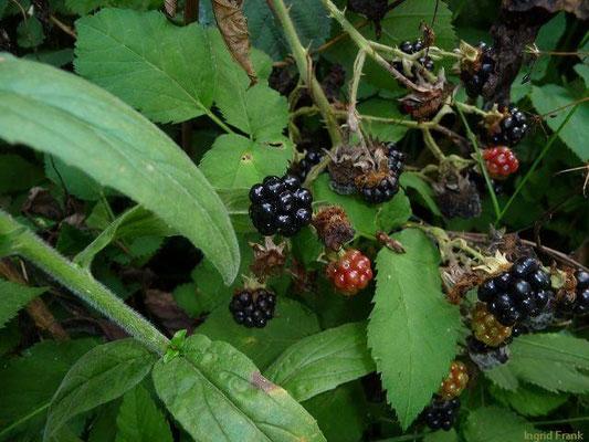Rubus fruticosus - Brombeere
