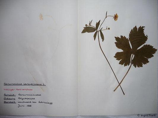 (9) Ranunculus lanuginosus - Wolliger Hahnenfuß