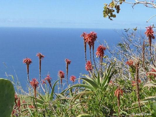 Aloe arborescens - Baumartige Aloe