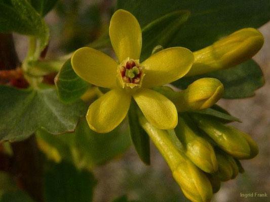 Ribes aureum -Gold-Johannisbeere