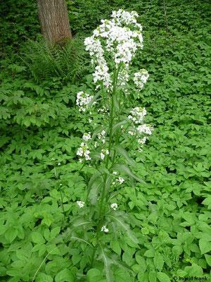 Armoracia rusticana - Meerrettich