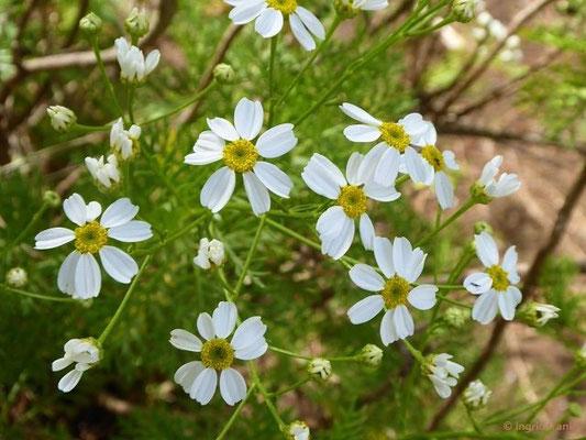 Gonospermum ferulaceum - Rutenkraut-Kantensame