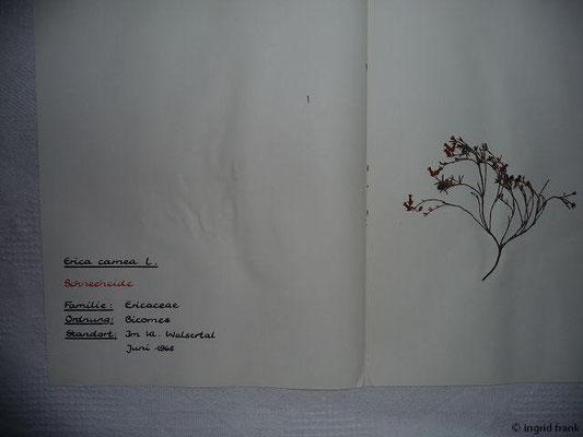 (83) Erica carnea - Schneeheide