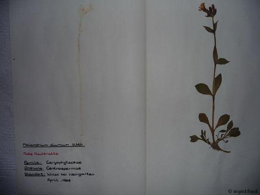 (74) Melandrium diurnum - Rote Nachtnelke