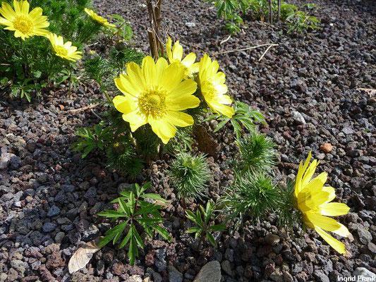 Adonis vernalis - Frühlings-Adonisröschen (Botanischer Garten der Universität Basel)
