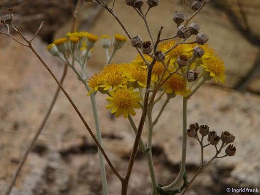 Jacobaea maritima - Weißfilziges Greiskraut (Insel Elba)