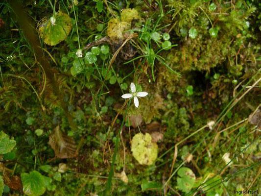 Moehringia muscosa - Moos-Nabelmiere    V-IX