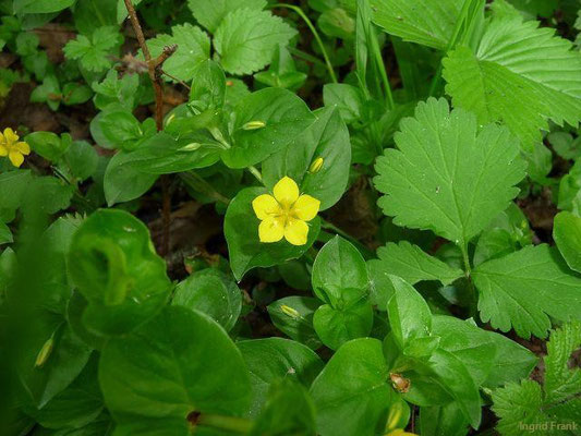 06.05.2011-Lysimachia nemorum - Hain-Gilbweiderich