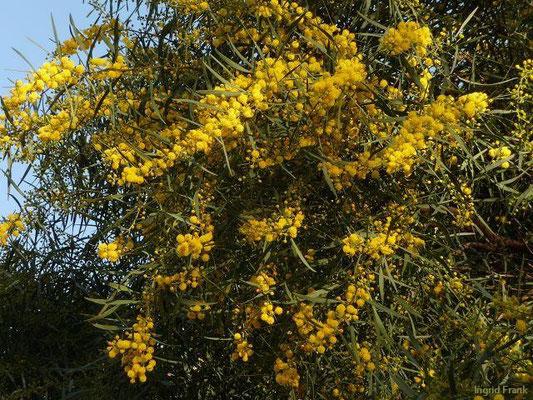 01.04.2013, Acacia saligna - Weidenblatt-Akazie