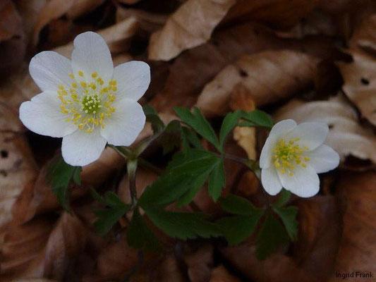 Anemone nemorosa / Busch-Windröschen