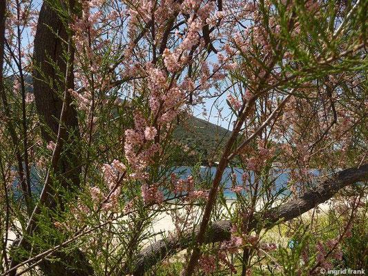 Tamarix parviflora - Kleinblütige Tamariske