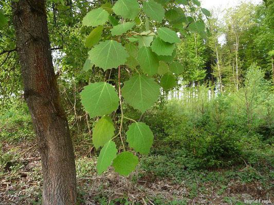 Populus tremula - Zitter-Pappel, Espe