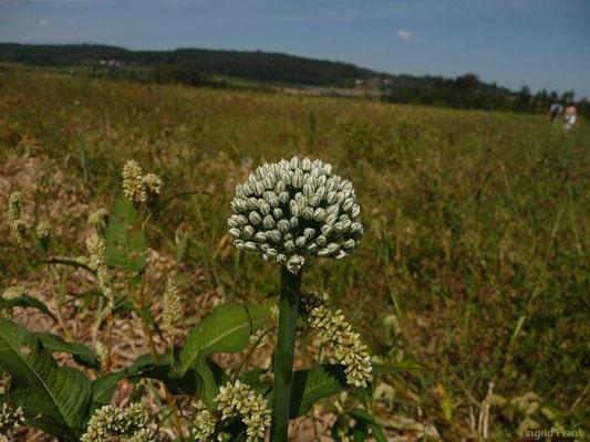 Allium cepa - Küchen-Zwiebel