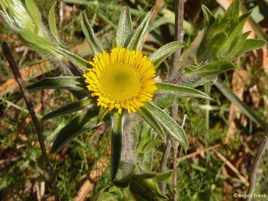 Pallenis spinosa - Stechendes Sternauge (La Gomera)