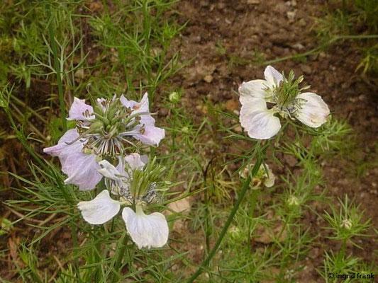 Nigella arvensis - Acker-Schwarzkümmel