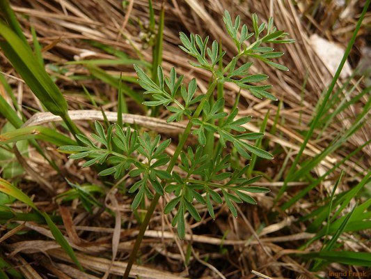 29.04.2012-Peucedanum palustre - Sumpf-Haarstrang