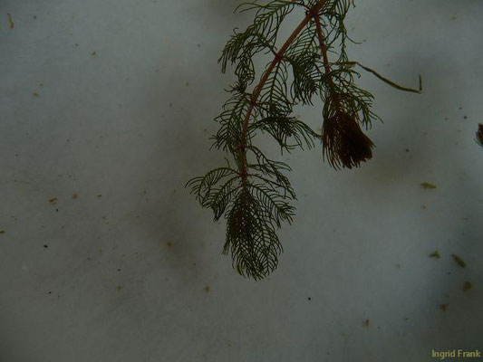 Myriophyllum verticillatum / Quirlblütiges Tausendblatt