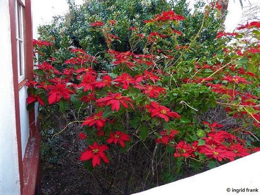 Euphorbia pulcherrima - Weihnachtsstern (La Palma)