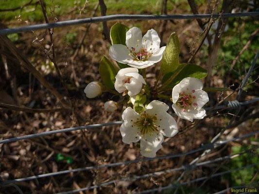 Pyrus communis - Garten-Birne. Kultur-Birne