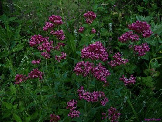 11.06.2010-Centranthus ruber - Spornblume
