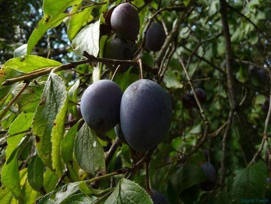 Prunus domestica - Zwetschge