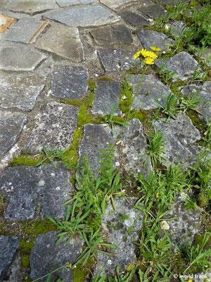 Hieracium piloselloides / Florentiner Habichtskraut