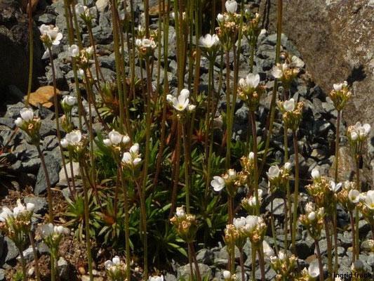 Androsace carnea - Fleischroter Mannsschild (Botanischer Garten Adorf im Vogtland)