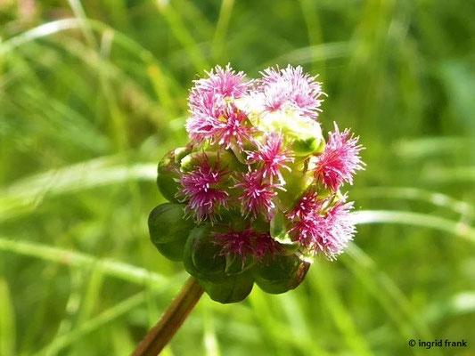 Sanguisorba minor - Kleiner Wiesenknopf (weibl. Blüten)