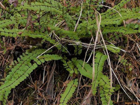 Asplenium trichomanes / Braunstieliger Streifenfarn