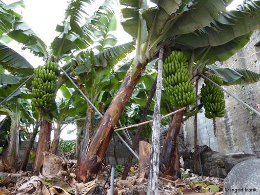 Bananengarten (Musa cavendishii - Zwergbanane)