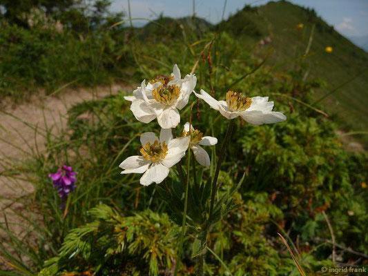 Anemonastrum narcissiflorum / Alpen-Berghähnlein