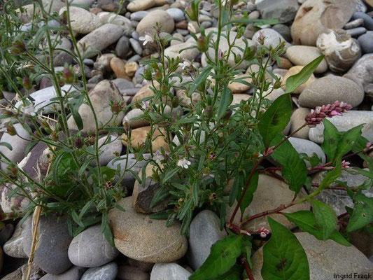 Chaenorhinum minus - Kleiner Orant, Kleines Leinkraut