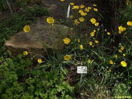Ranunculus gramineus - Grasblättriger Hahnenfuß