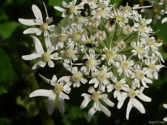 Heracleum sphondylium - Wiesen-Bärenklau