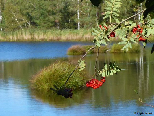 Am Riedsee: Sorbus aucuparia - Eberesche, Vogelbeere