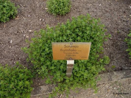 Satureja linifolia - Thymian-Kölle    VII-X  (Fremdländische Pflanze; Botanischer Garten Berlin)