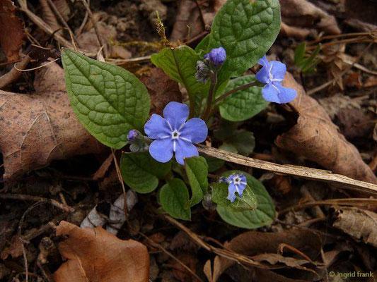 Omphalodes verna - Frühlings-Gedenkemein