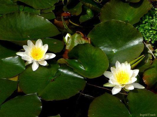 Nymphaea alba / Weiße Seerose