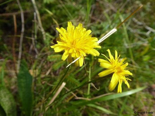 Scorzonerioides autumnalis / Herbst-Schuppenlöwenzahn