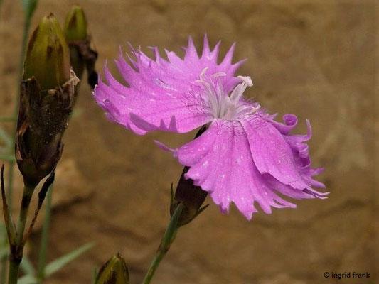 Dianthus gratianopolitanus / Pfingst-Nelke  (BG Universität Heidelberg)  V-VI