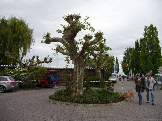 18.05.2012-Platane - Uferpromenade Immenstaad