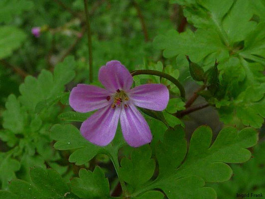 Geranium robertianum - Uprechtskraut, Stinkender Storchschnabel    V-X