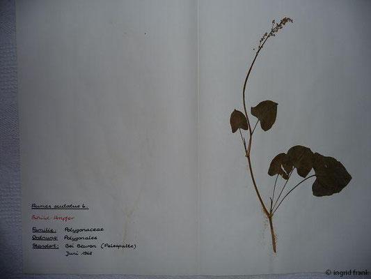 (67) Rumex scutatus - Schild-Ampfer
