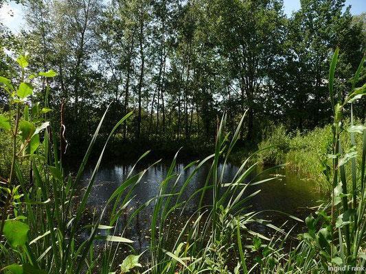 14.07.2012-Typha latifolia - Breitblättriger Rohrkolben
