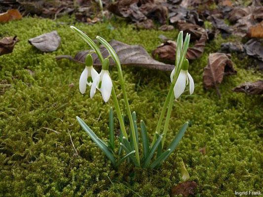 25.02.2010-Galanthus nivalis - Kleines Schneeglöckchen
