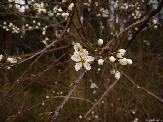 06.04.2012-Prunus spinosa - Schlehe, Schwarzdorn