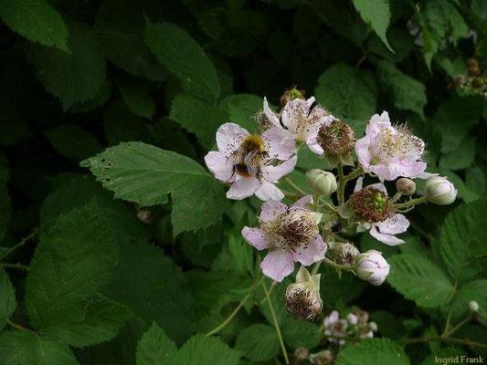 20.06.2011-Rubus fruticosus - Brombeere