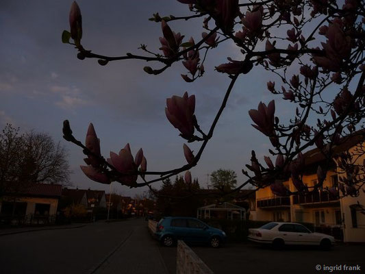 Magnolia x soulangea - Tulpen-Magnolie