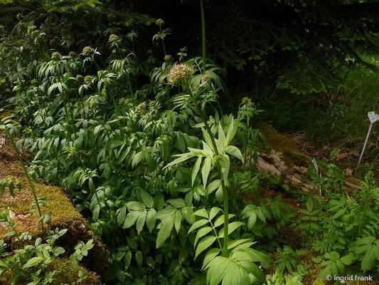 Valeriana excelsa ssp. sambucifolia - Holunderblättriger Kriech-Baldrian
