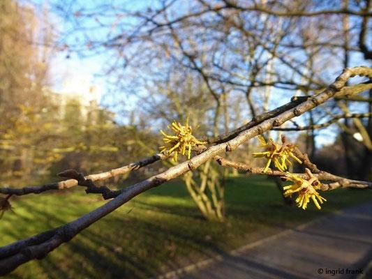 Hamamelis vernalis - Frühlings-Zaubernuss